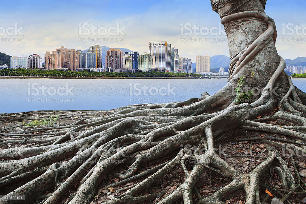 banyan tree root and urban scene background stock photo