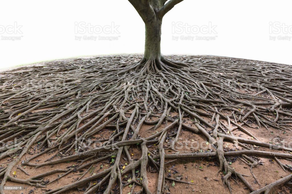 banyan tree root stock photo