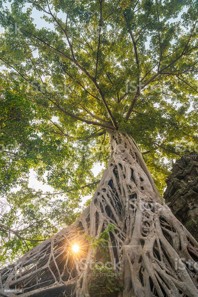 Banyan Tree, Ta Prohm Temple, Cambodia stock photo