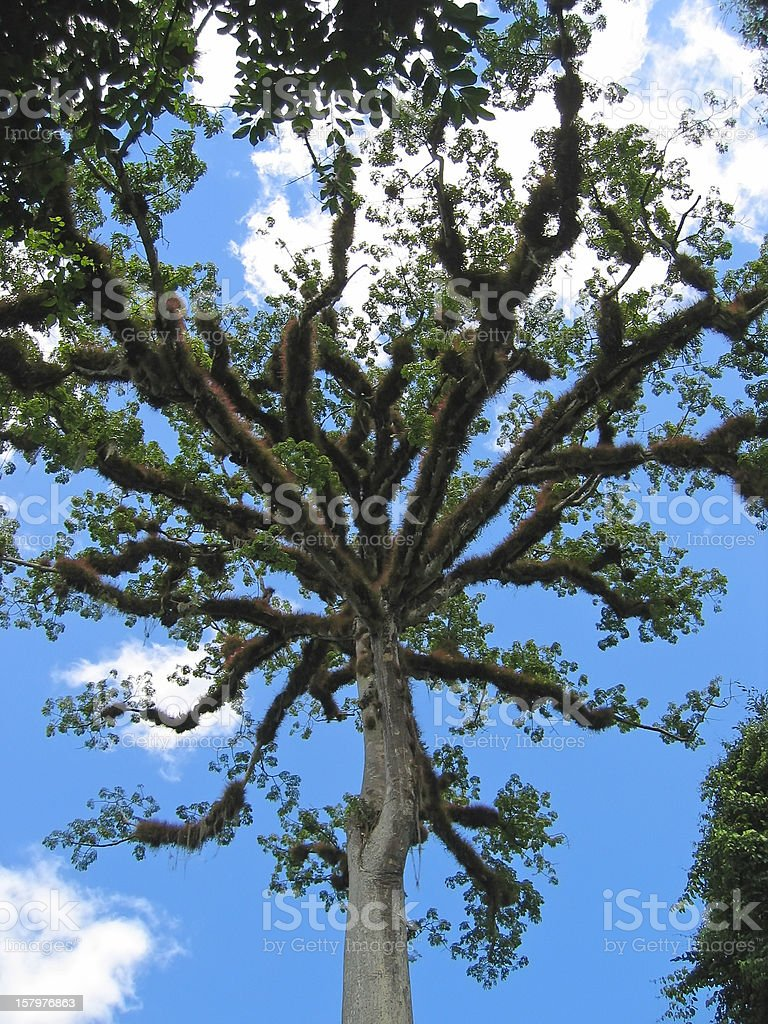 Banyan tree with a blue sky and some clouds royalty-free stock photo