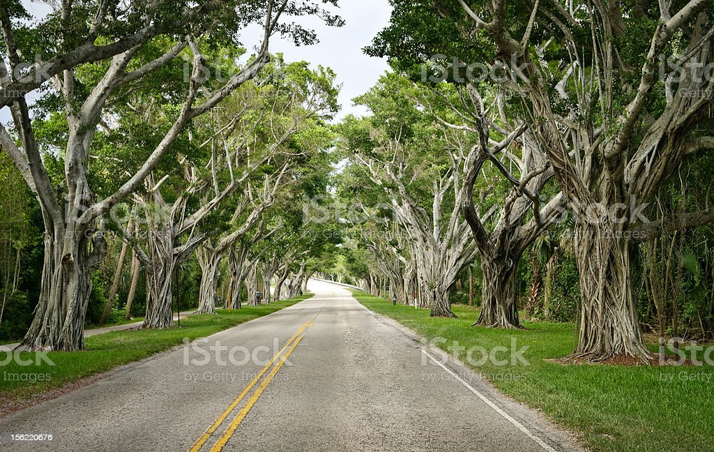 Banyan Trees stock photo