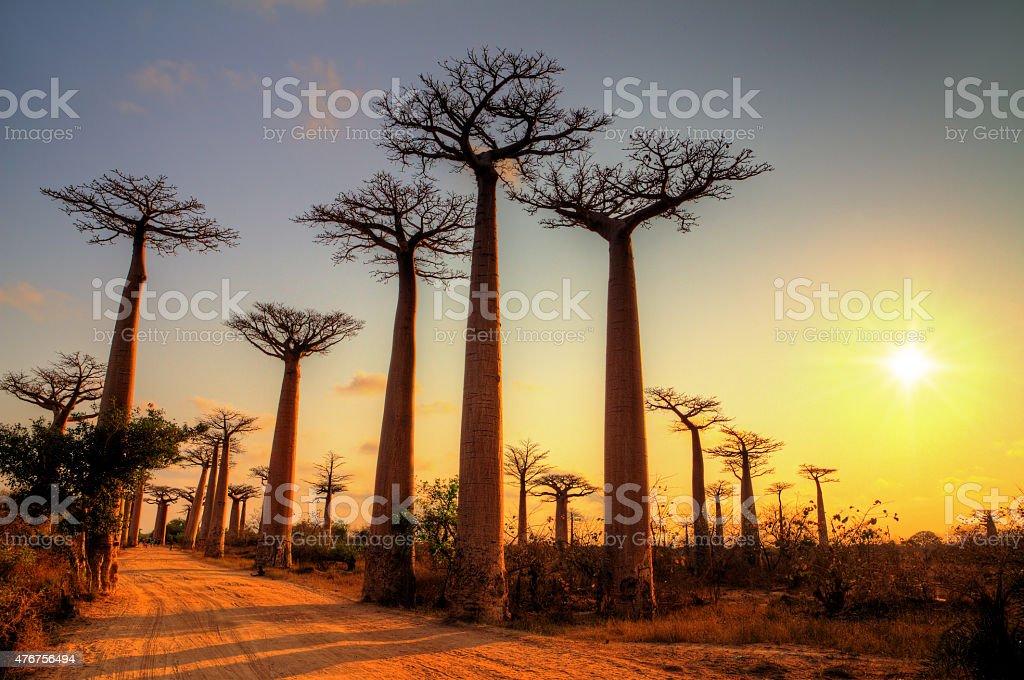 Baobab alley sun stock photo