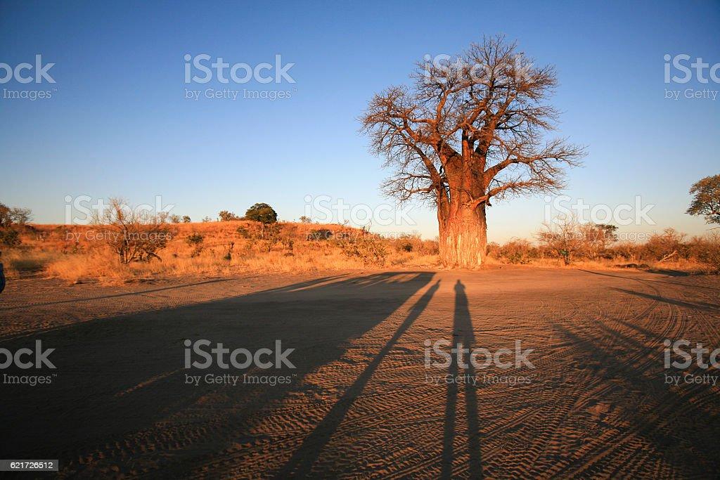 Baobab at sunset in Savuti, Chobe National Park, Botswana stock photo