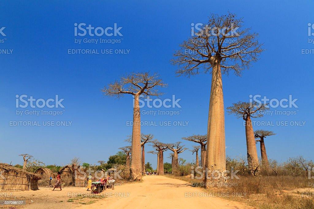 Baobab avenue village stock photo
