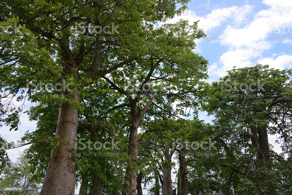 baobab forest, The Gambia stock photo