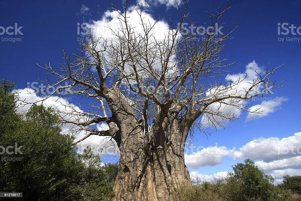 Baobab in Kruger Park, South Africa royalty-free stock photo