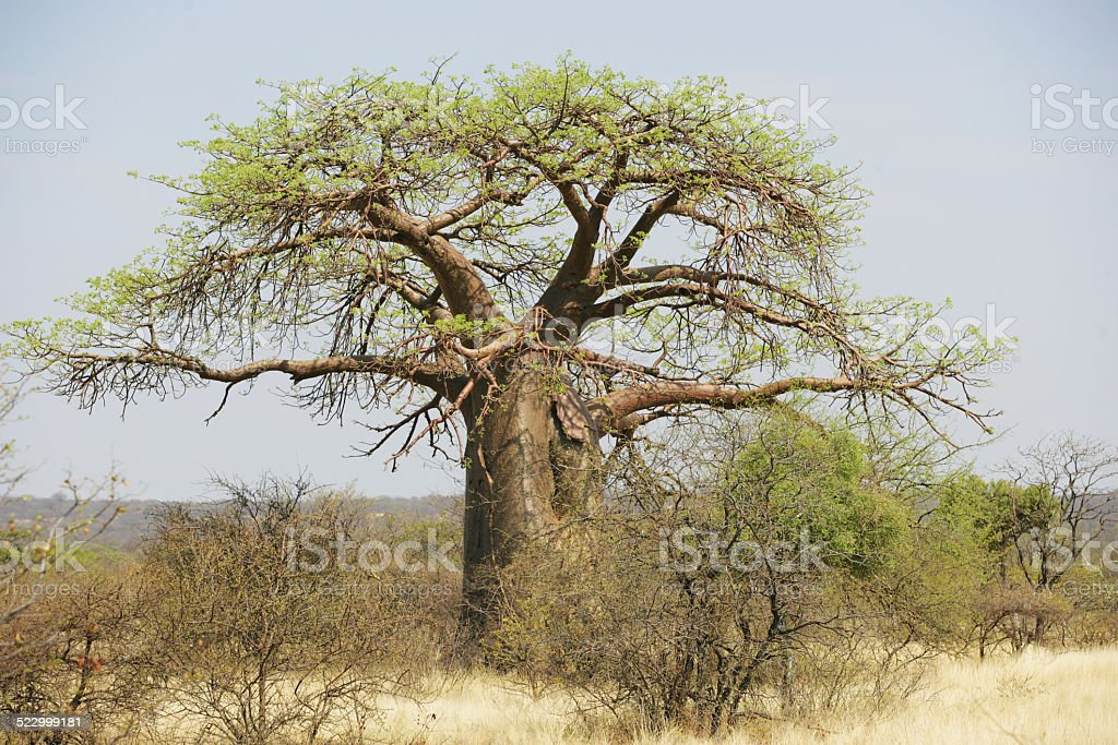 Baobab in South Africa stock photo