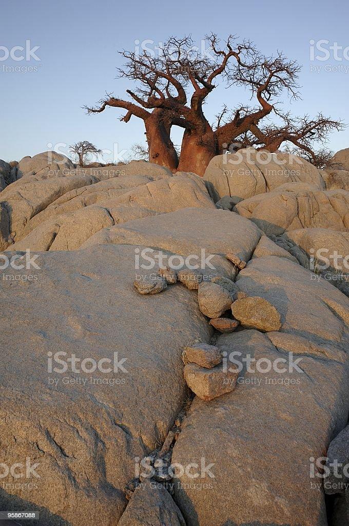 Baobab on the rocks royalty-free stock photo