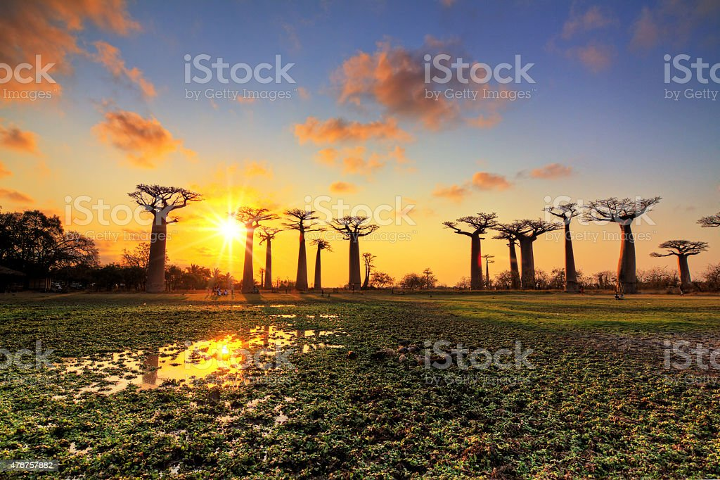 Baobab panorama sunset stock photo