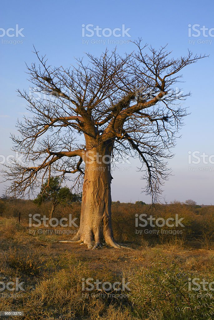 Baobab royalty-free stock photo