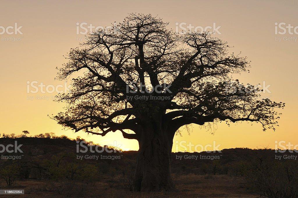 baobab tree against sunset, royalty-free stock photo