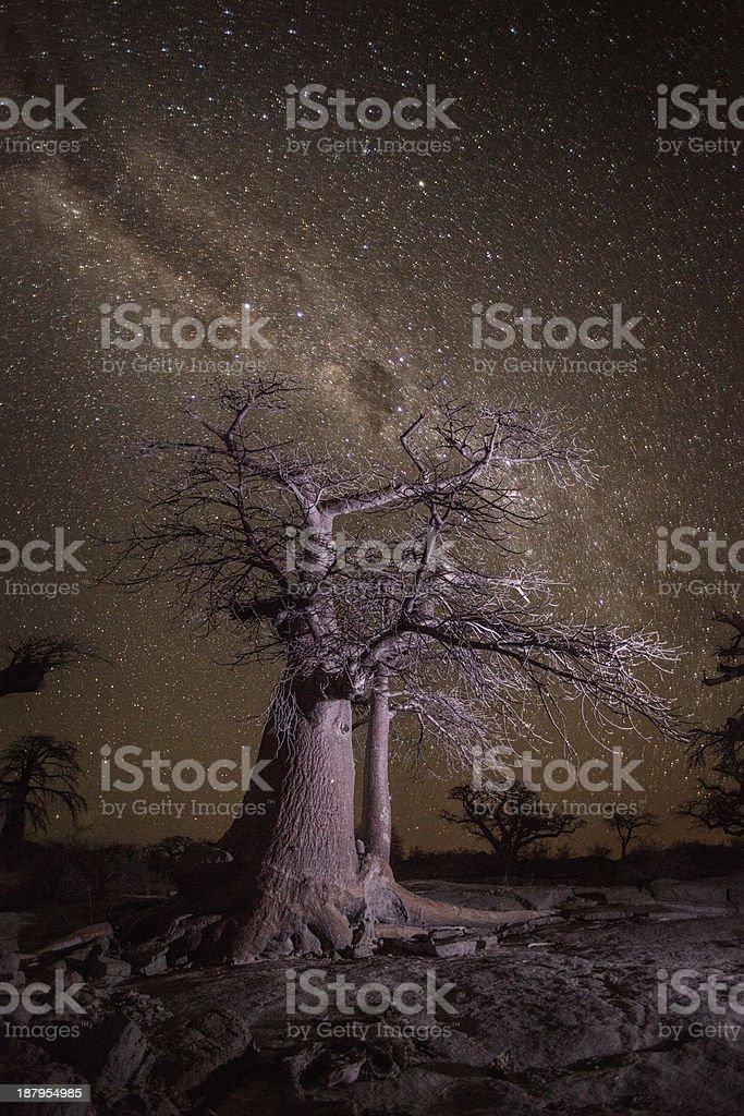 Baobab tree at night stock photo