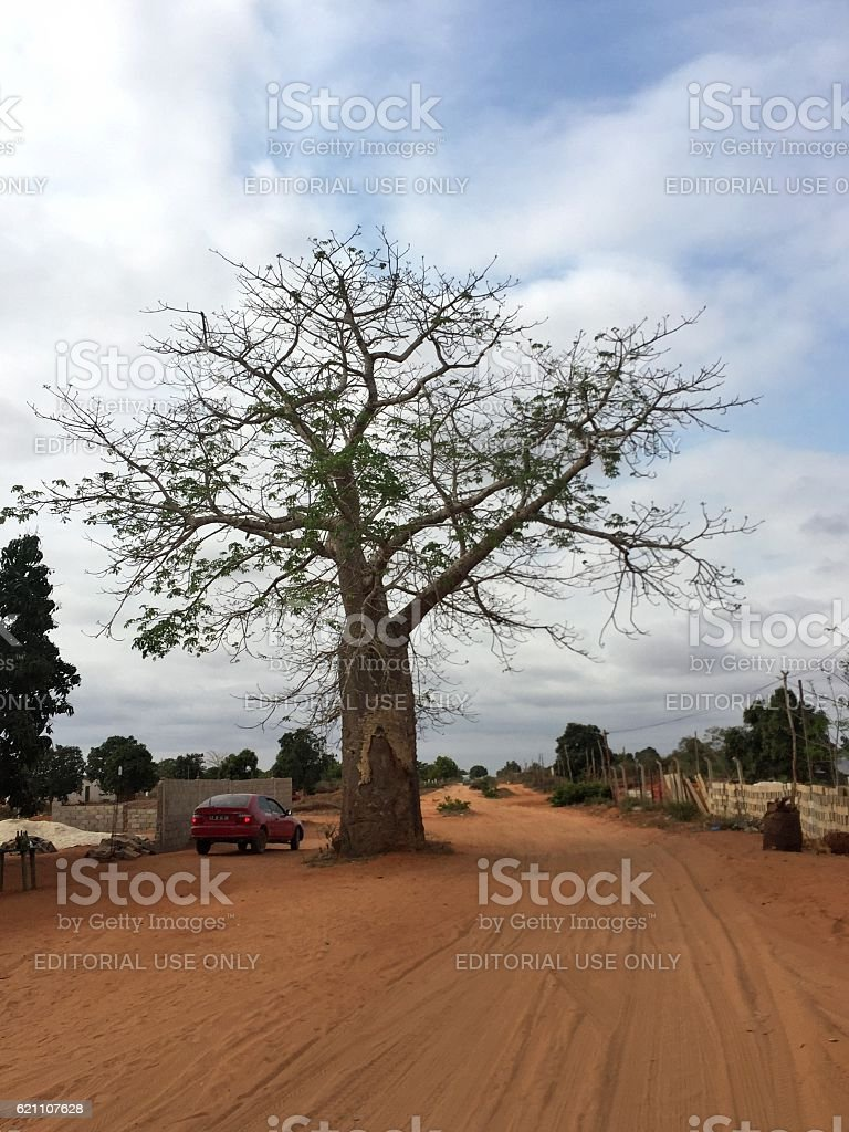 Baobab tree in Angola road stock photo