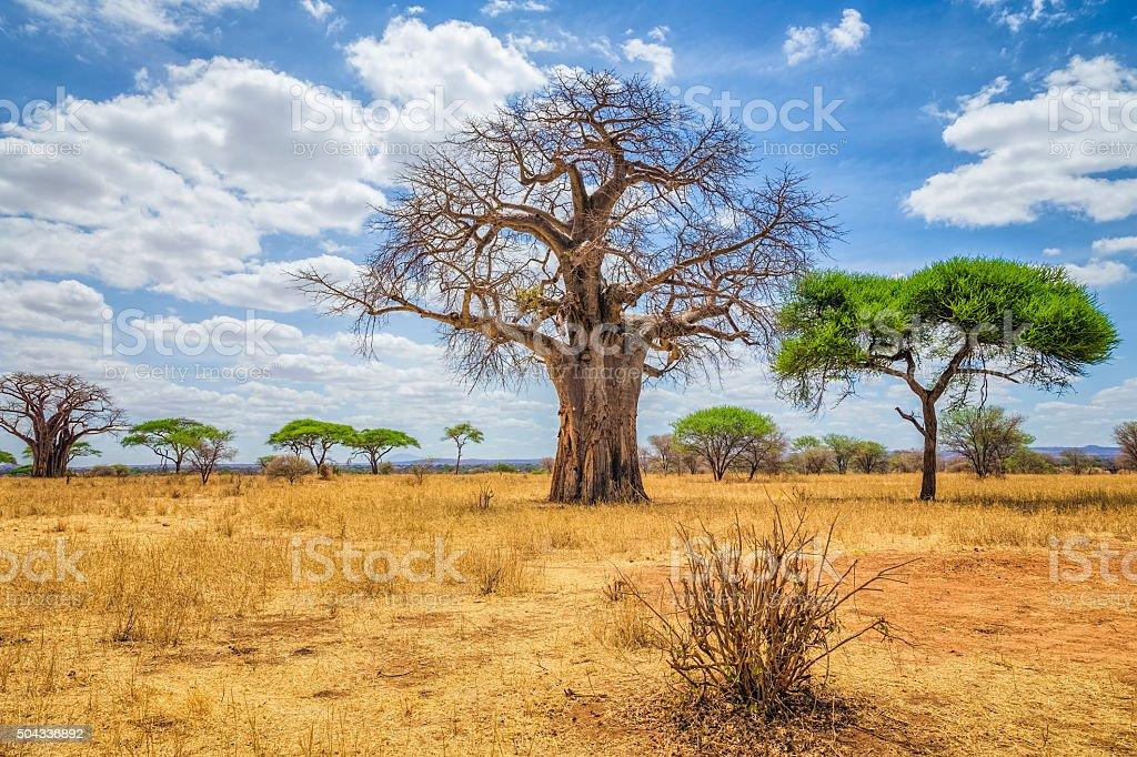 Baobab Tree in Tarangire National Park - Tanzania stock photo