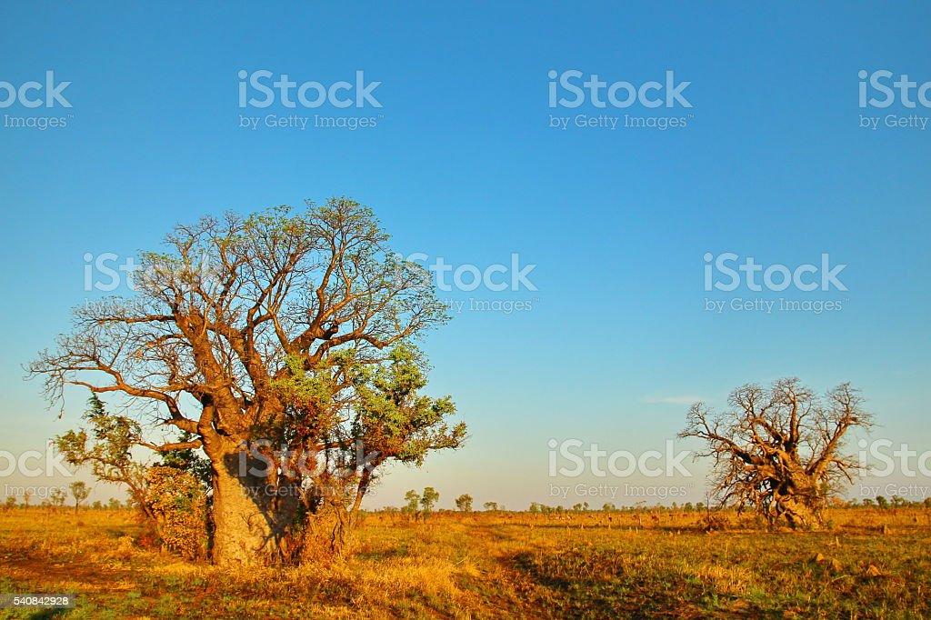 Baobab Tree, Kimberley, Australia stock photo
