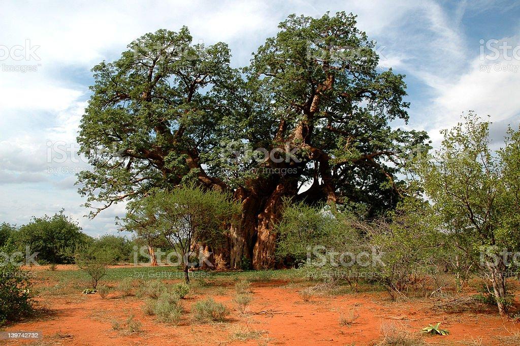Baobab tree royalty-free stock photo