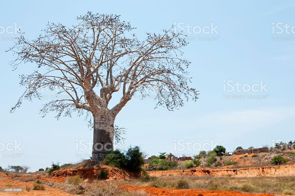 Baobab Tree stock photo