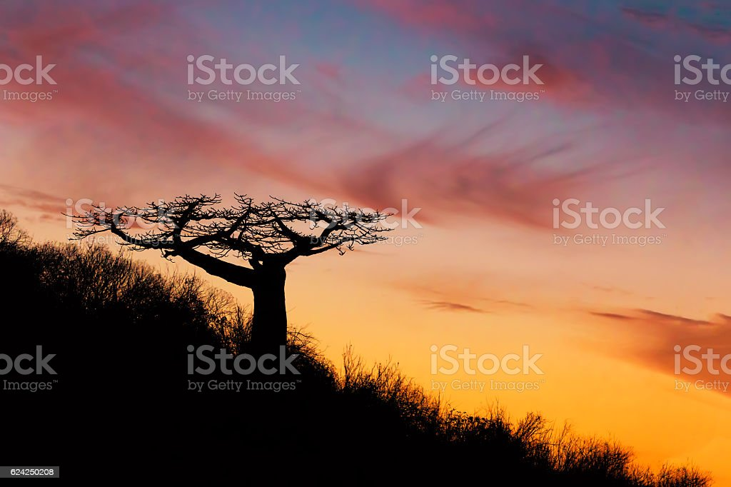 Baobab tree silhouette after sunset Madagascar stock photo