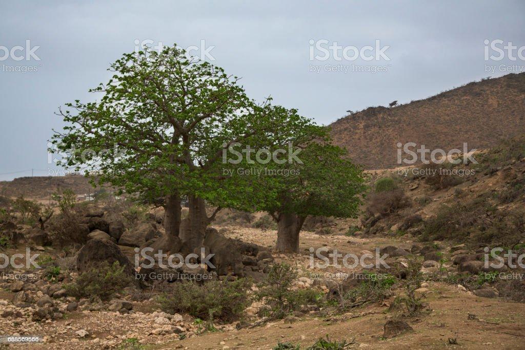 Baobab trees in Salalah stock photo