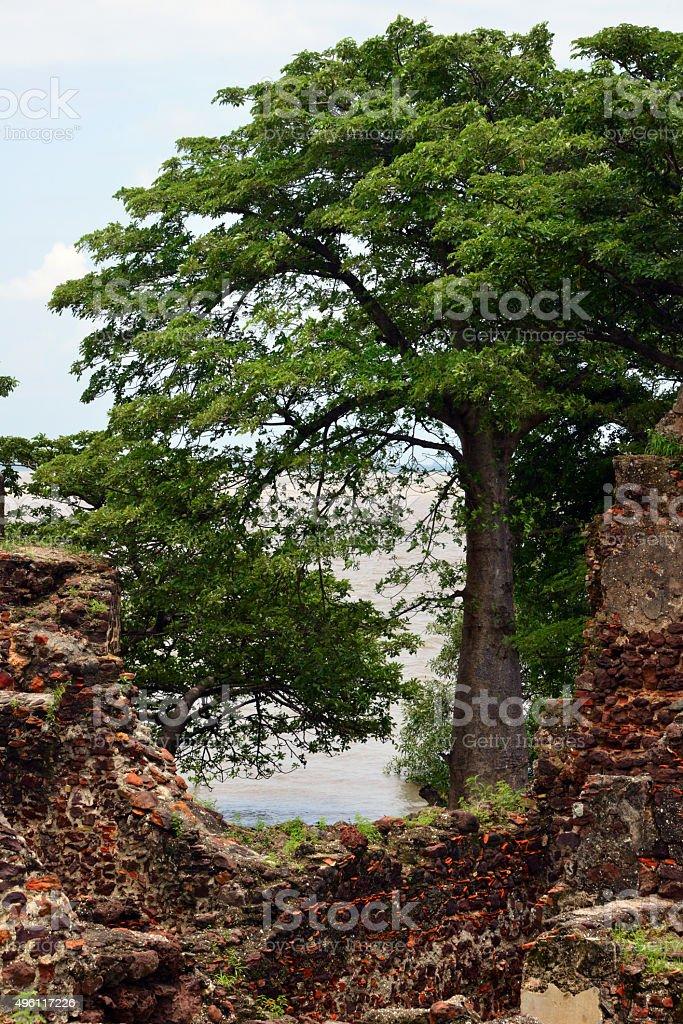 Baobabs and ruins, James Island / Kunta Kinteh island, Gambia stock photo