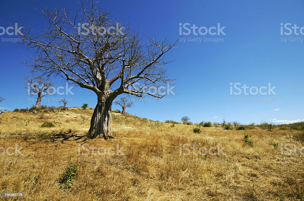Baobabs in the dry season royalty-free stock photo