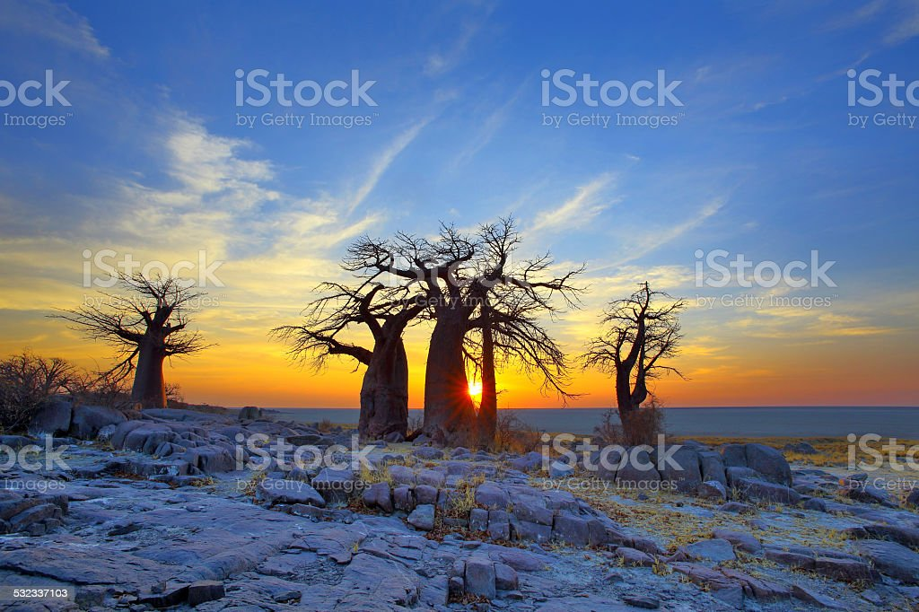 Baobabs on Kubu at Sunrise stock photo