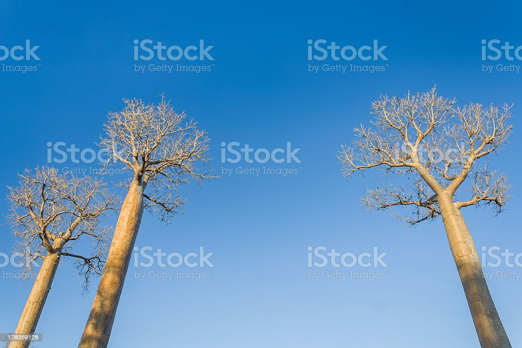 Baobabs royalty-free stock photo
