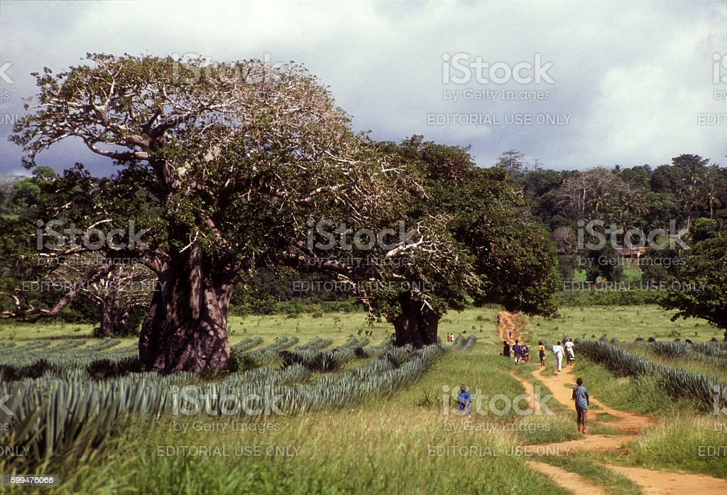 Baobah trees on the road Mombasa-Malindi, Kenya coast stock photo