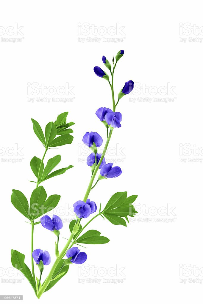 Baptisia flowers royalty-free stock photo