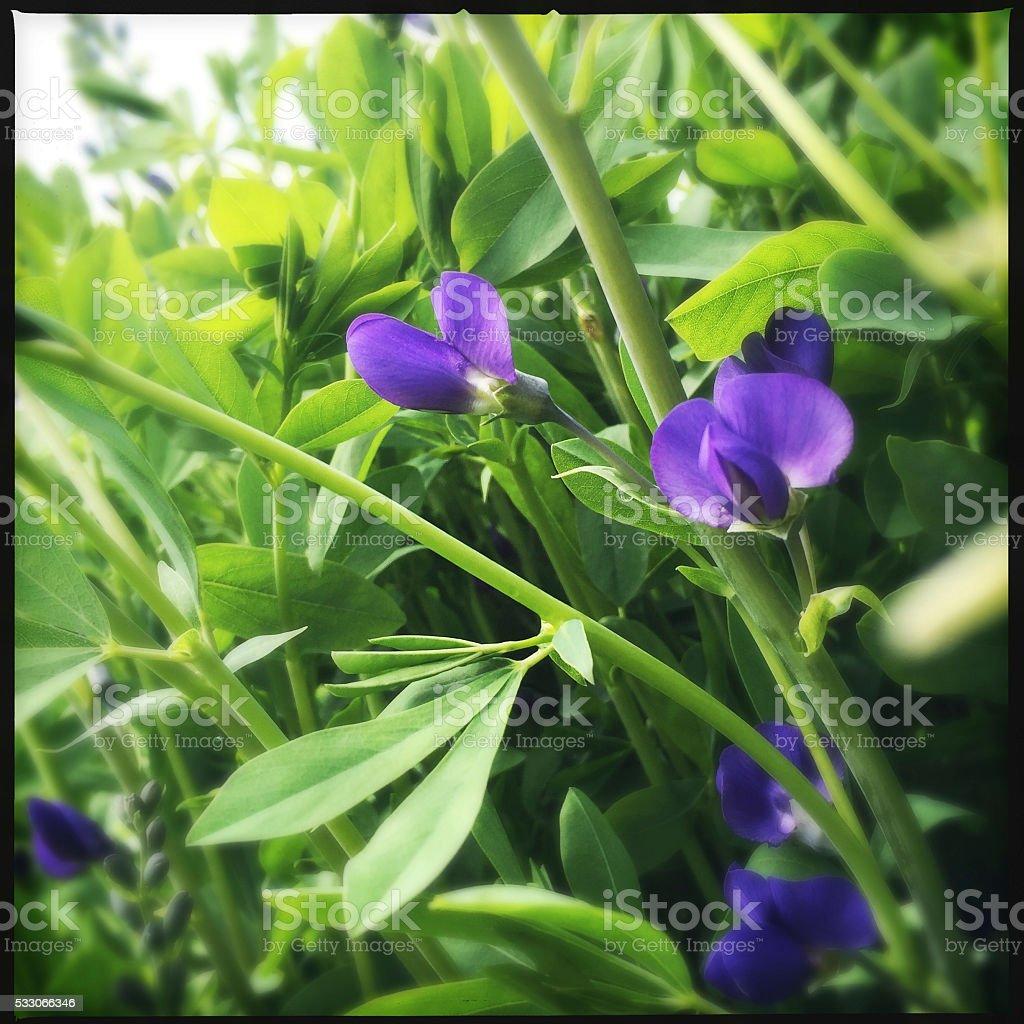Baptisia Wild Indigo in Perennial Garden stock photo