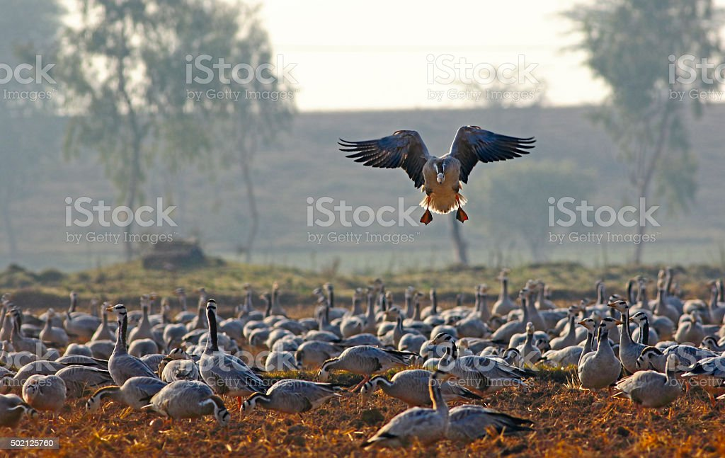Bar headed goose landing. stock photo