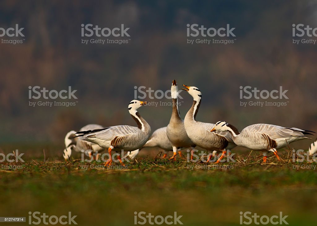 Bar headed goose stock photo