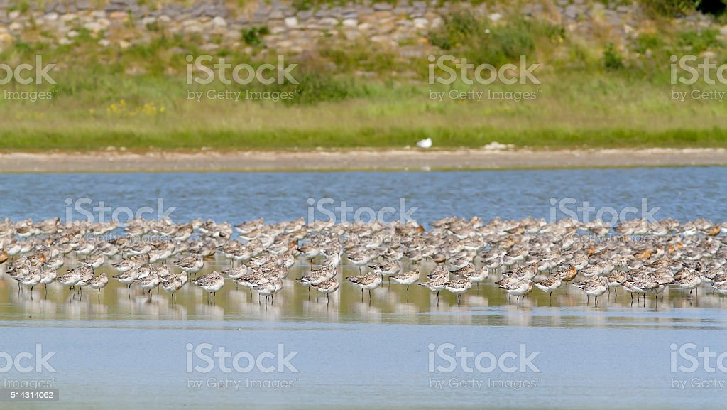 Bar Tailed Godwit (Limosa lapponica) in Winter Plumage stock photo
