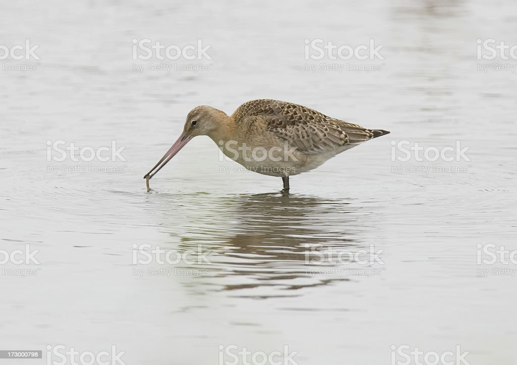 Bar Tailed Godwit (Limosa lapponica) royalty-free stock photo
