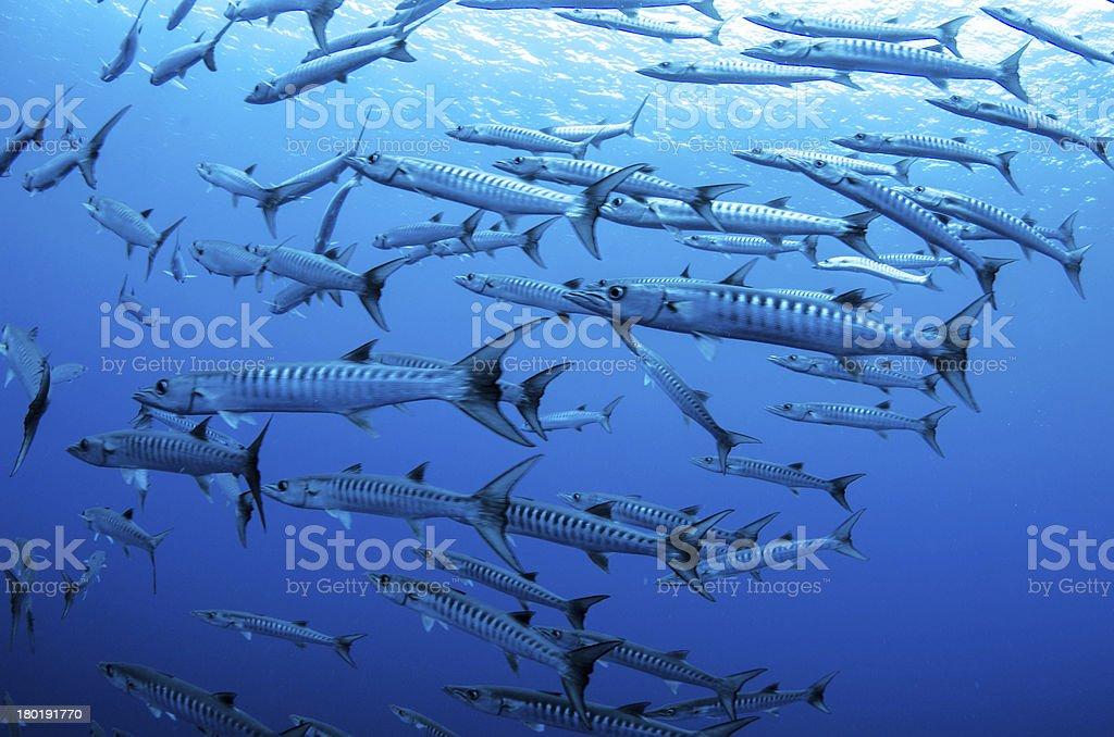 Baracuda stock photo