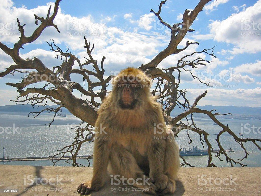 barbary ape gibraltar royalty-free stock photo