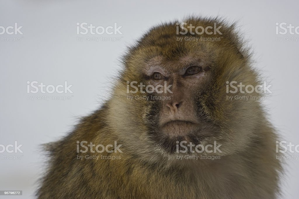 Barbary ape in the snow stock photo
