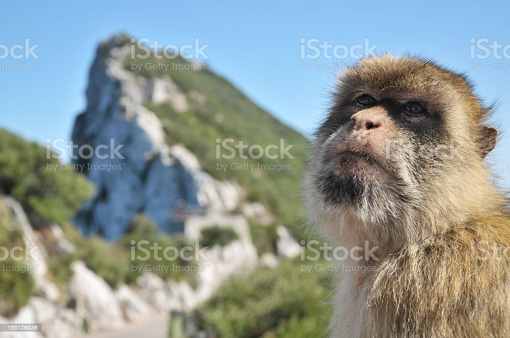 Barbary Ape On The Rock Of Gibraltar stock photo