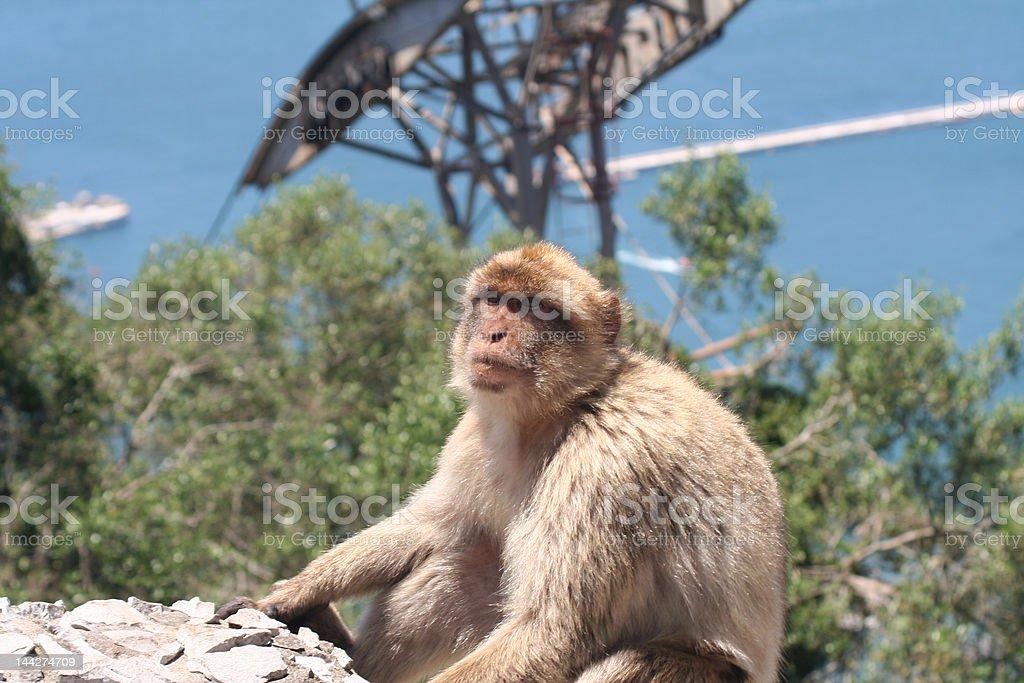 Barbary ape royalty-free stock photo
