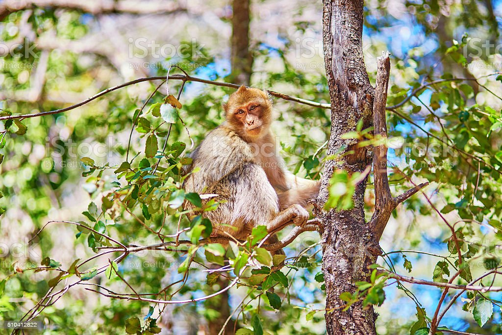 Barbary Apes in the Cedar Forest in Northern Morocco stock photo