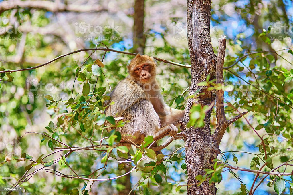 Barbary Apes in the Cedar Forest near Azrou stock photo
