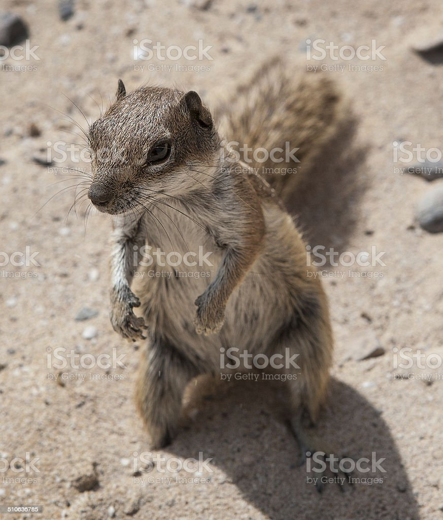 Barbary ground squirrel royalty-free stock photo