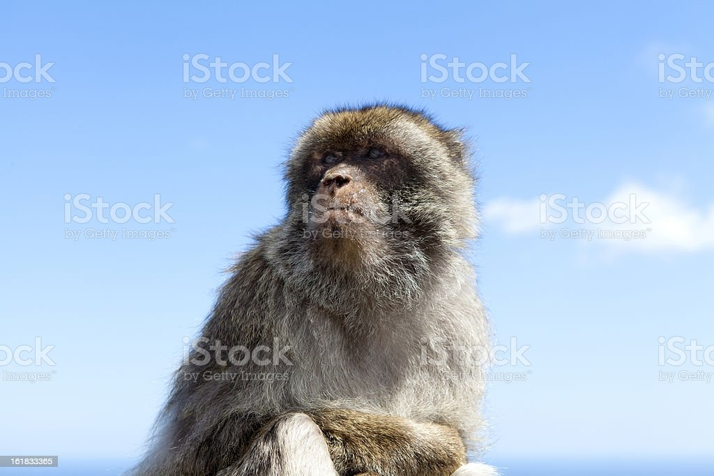 Barbary Macaque against blue sky royalty-free stock photo