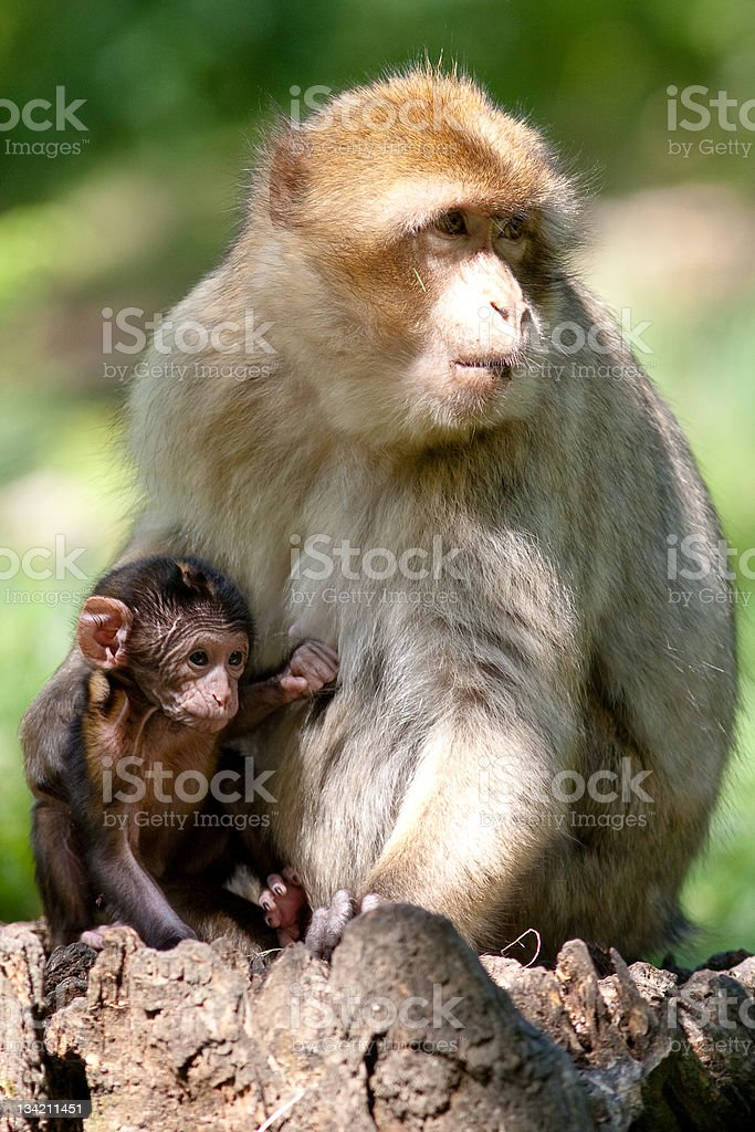 Barbary macaque and Baby stock photo