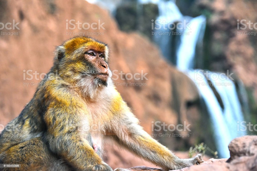 Barbary macaque at the Ouzoud falls in Morocc stock photo