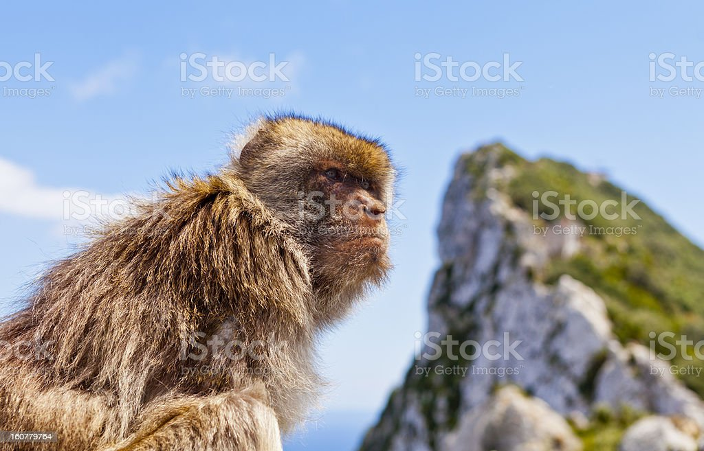 Barbary Macaque atop Gibraltar's Rock royalty-free stock photo