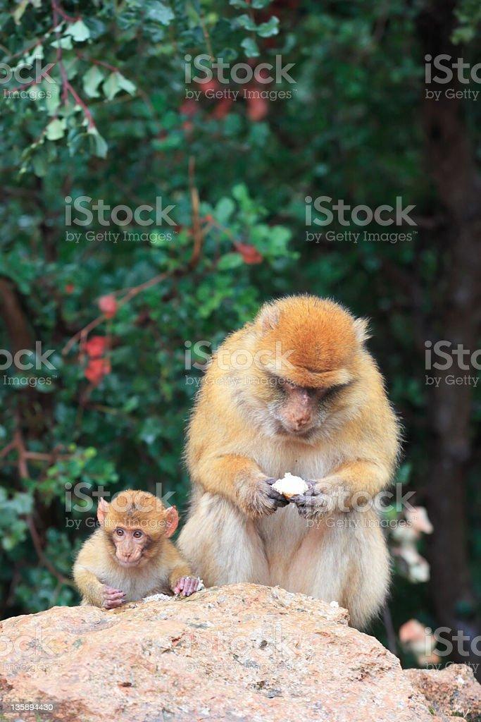 Barbary Macaque family stock photo