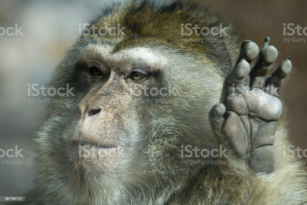 Barbary Macaque hand stock photo
