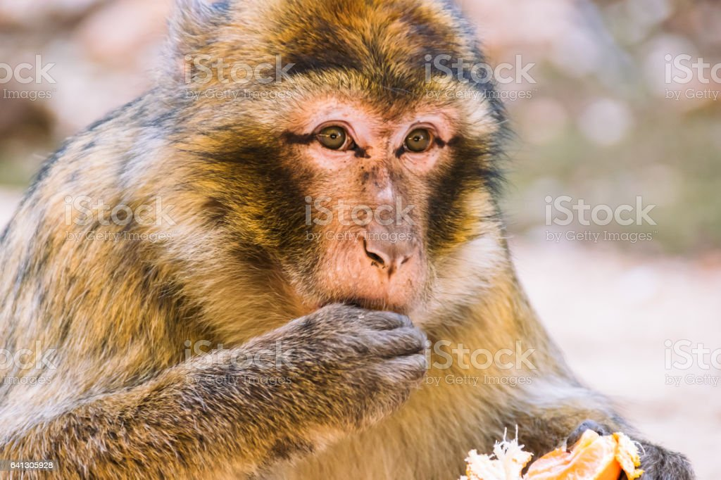 Barbary macaque monkey eating a tangerine, Ifrane, Morocco stock photo