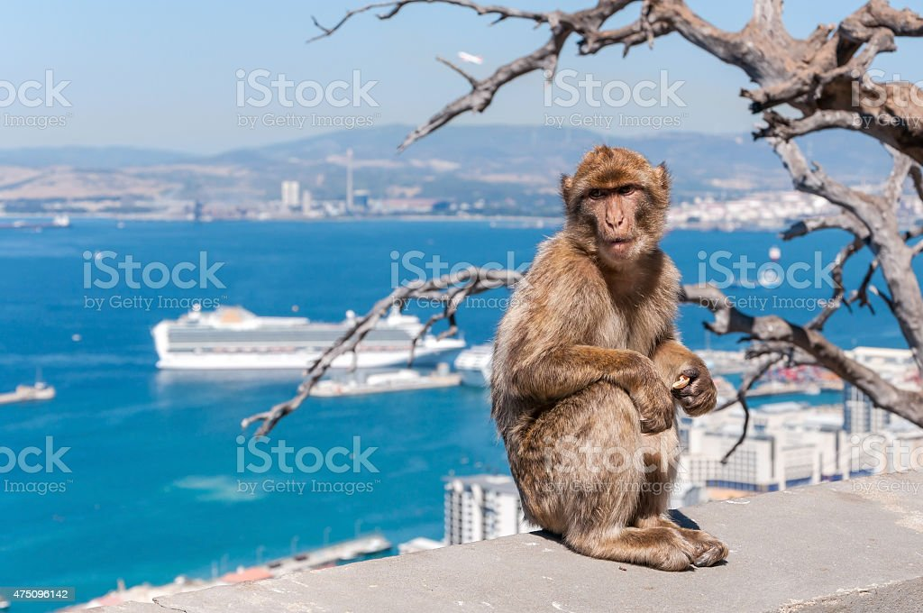 Barbary macaque monkey in Gibraltar stock photo